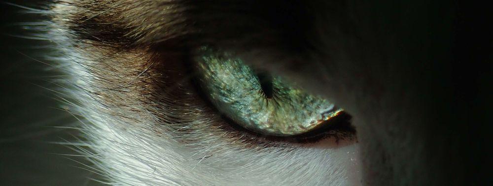 Augenheilkunde Augenmedizin Ophthalmologie Tierarzt Katze Hund